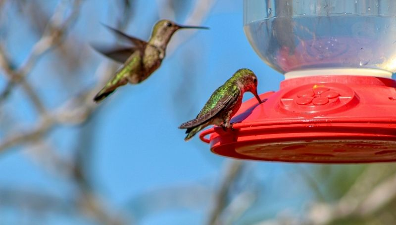 a close-up shot of a hummingbird drinking from a red feeder with another bird flying nearby