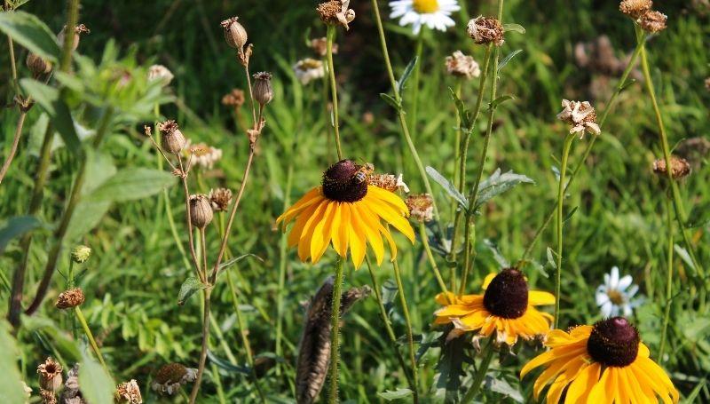 bees in a pollinator garden