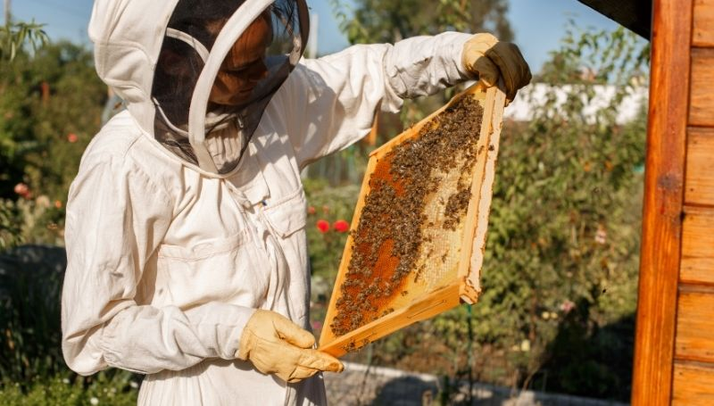 a beekeeper in a bee suit and gloves inspecting a hive frame