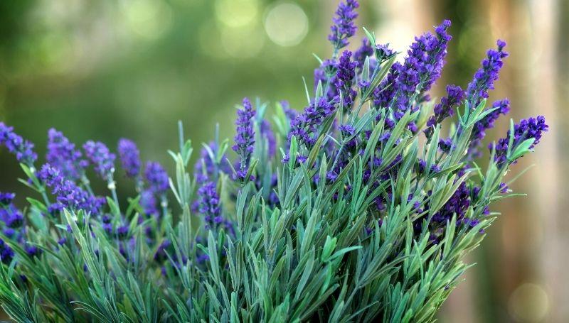 Thumbelina lavender variety, an English lavender type