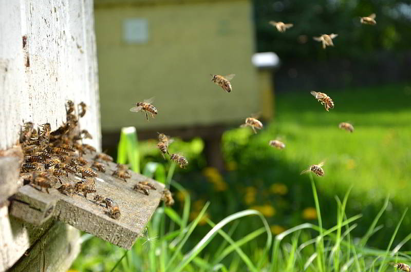 swarm of bees going in a beehive entrance