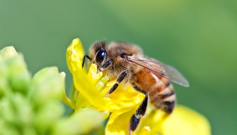honey bee with striped abdomen on a yellow flower