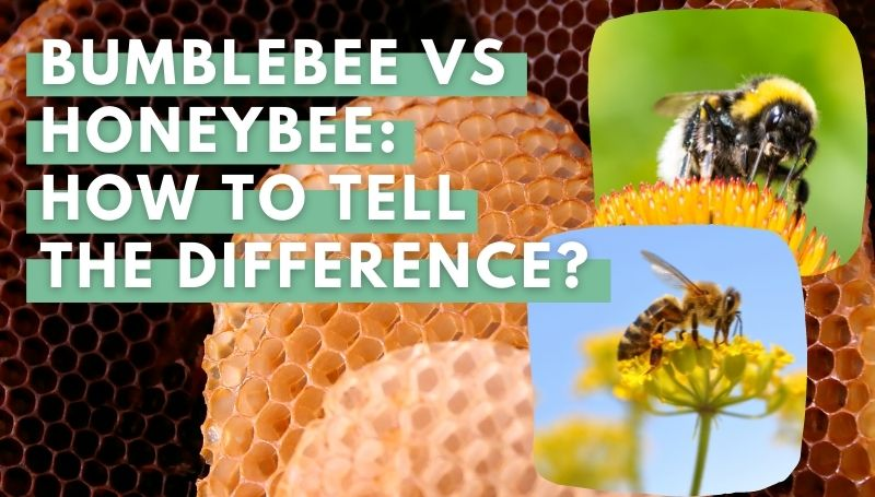 Bumblebee vs Honeybee: How To Tell The Difference?