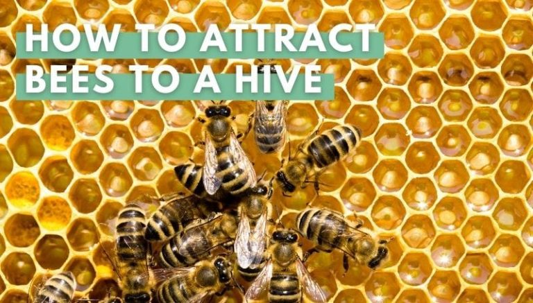 How to Attract Bees to a Hive