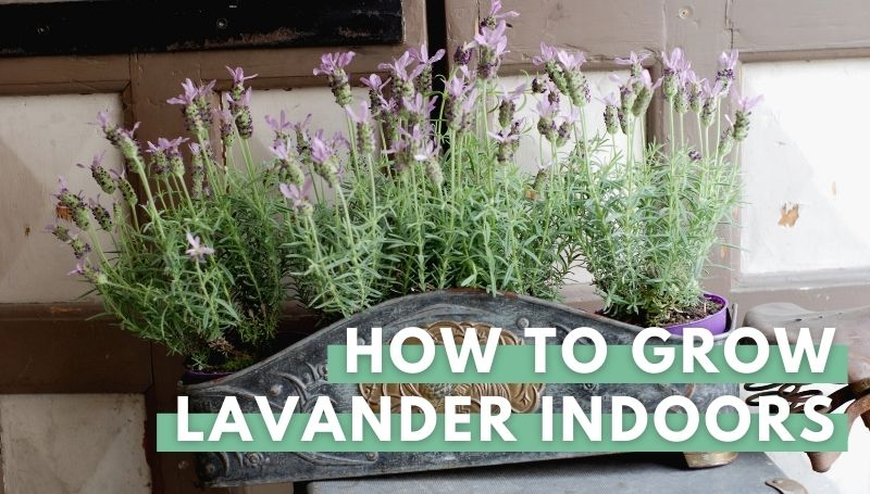 how to grow lavender indooers