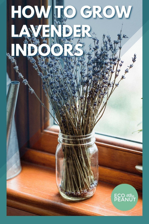 how to grow lavander indoors