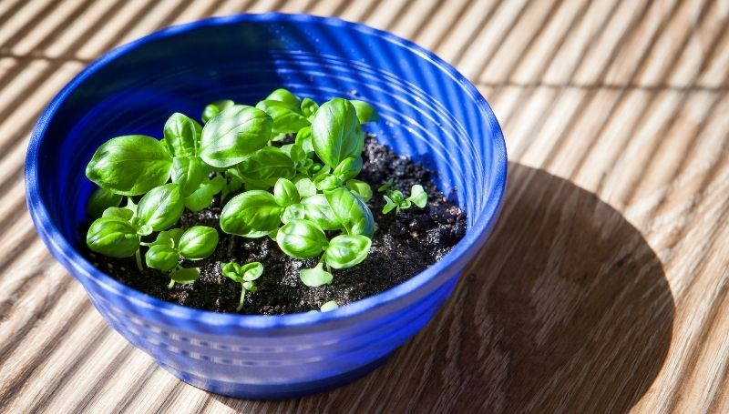 basil growing in a blue container with moist soil