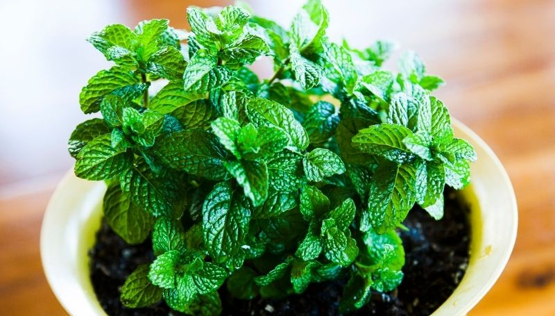 mint plant in a white container
