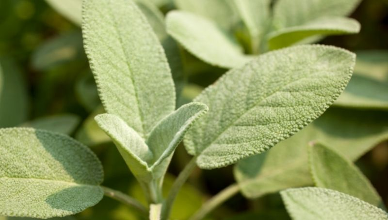 close view of sage leaves and stems