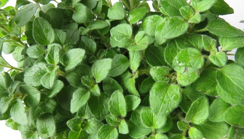 healthy oregano plant with some water on the leaves