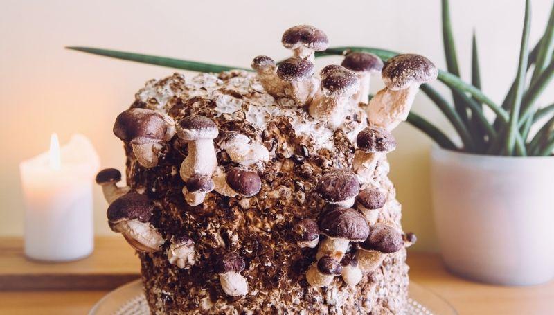 Shiitake mushroom growing from a log indoor
