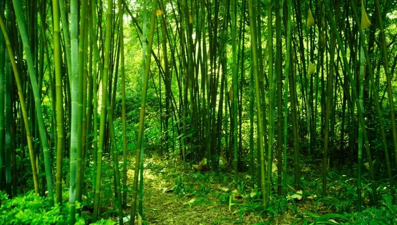 a bamboo forest
