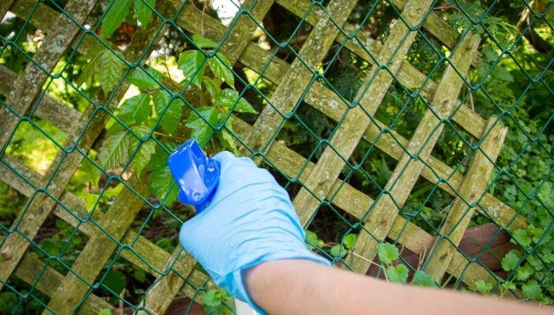 spraying organic weed killer on vines while wearing gloves